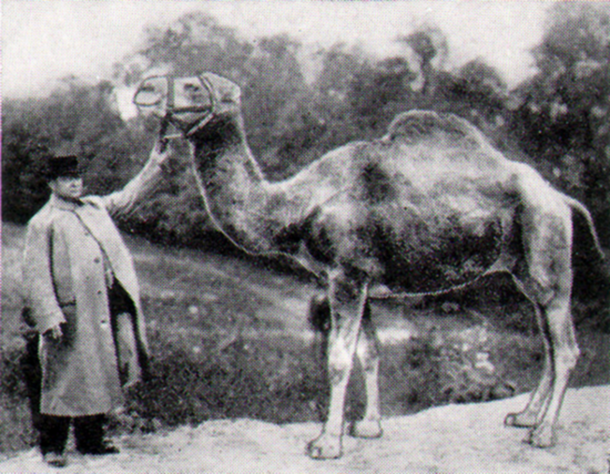 The dromedary Old Joe