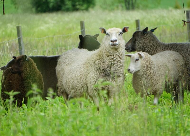Lammaslauma, kesälaidun