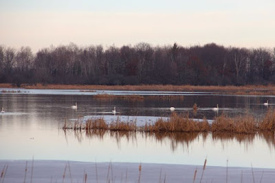 trumpeter swans at Carlos Avery pools