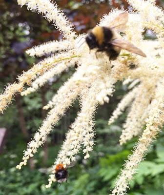töyhtöangervo, mehiläinen,