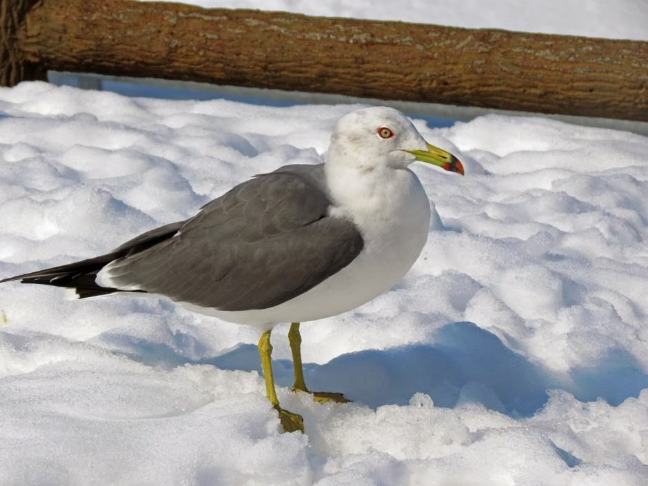Black tailed gull