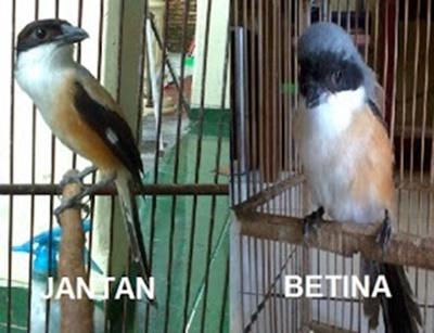 Burung Cucak Jenggot Jantan dan Betina