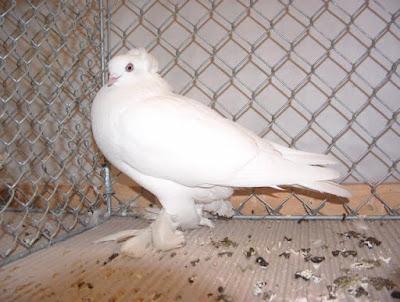 white pigeons - beautiful pigeons