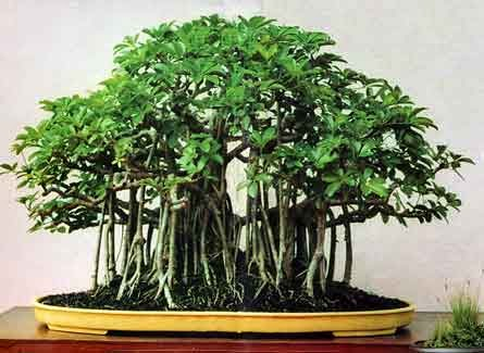 For how long to grow a bonsai tree