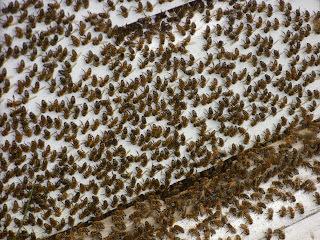 """""""washboarding"""" το μυστηριώδες μπρος πίσω των μελισσών!!! video"""