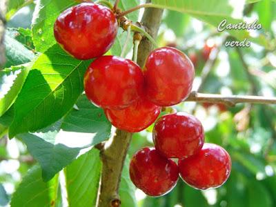 Cultivo e tratamento da Cerejeira