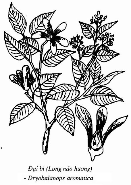 Hình vẽ Đại Bi (Long não hương) - Dryobalanops aromatica - Nguyên liệu làm thuốc Chữa Cảm Sốt
