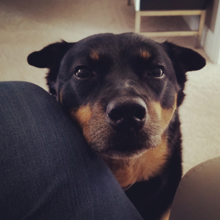 image of Zelda the Black and Tan Mutt sitting as close to me as she physically can, giving me a plaintive look