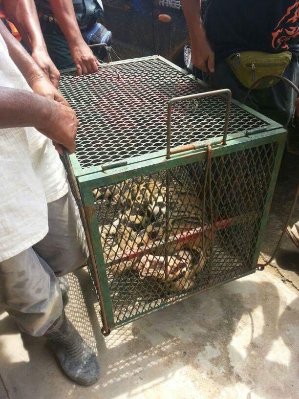 10 Gambar Harimau Dahan Berehat Bawah Rumah Peneroka