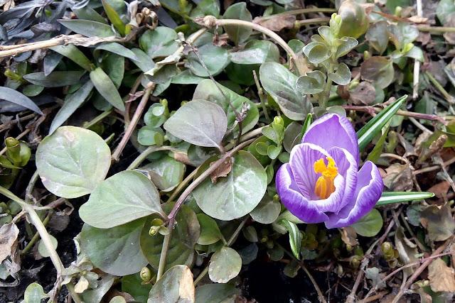 апрельские первоцветы...