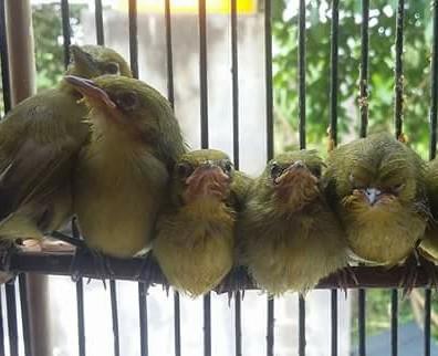 Kibung Kicau Burung Tips Cara Merawat Anakan Burung Pleci