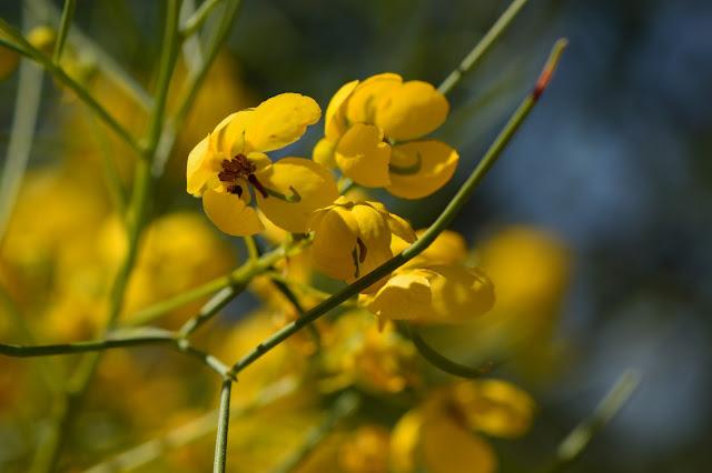 small sunny garden, desert garden, amy myers, photography, about the garden, plant selection, senna nemophila