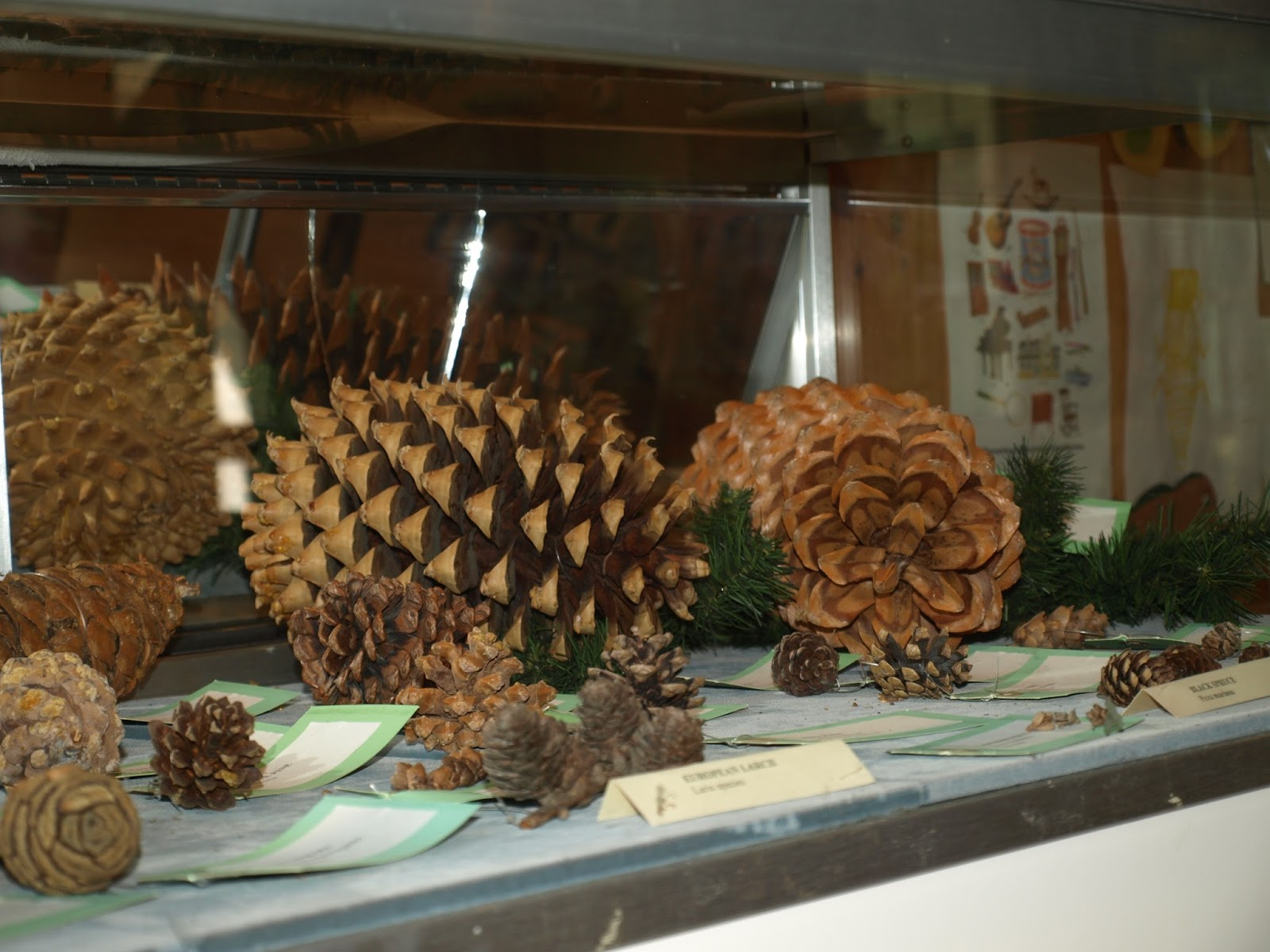 Why Are There So Many Pine Cones This Year?