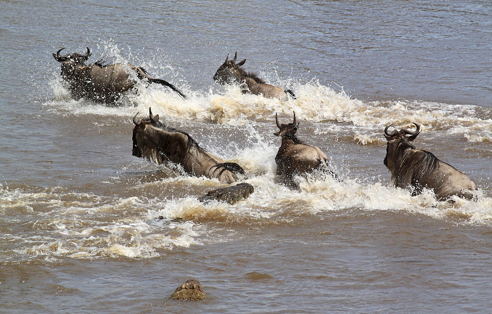 Beautiful Animals Safaris: The Amazing Great Wildebeest Migration ...