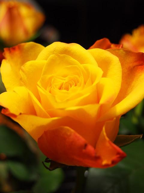paiqo: ruusu