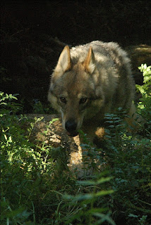 Cachorro informativo, Cão Lobo Checoslovaco
