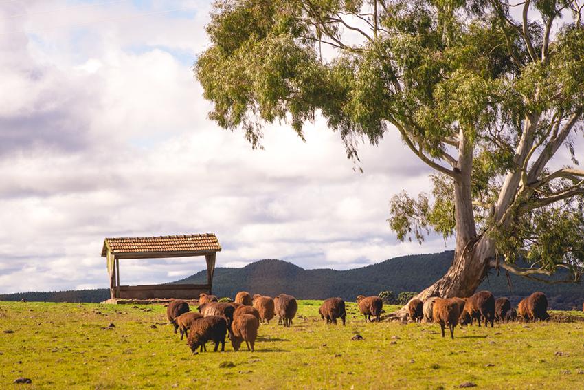 ovelhas na serra gaúcha