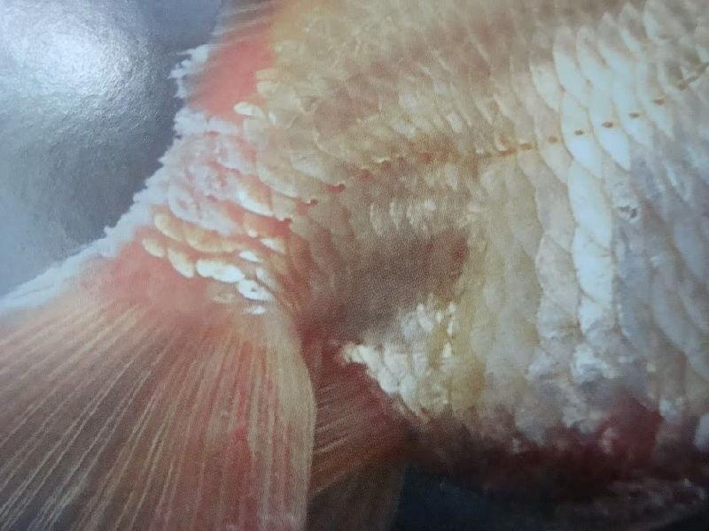 Gambar Penyakit Jamur Pada Ikan