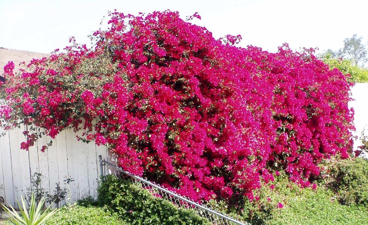 Bougainville (paper flowers ) | World Of Flowers