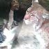 Un gatito cae en la jaula de un lince. Su reacción causó escepticismo en todo el mundo