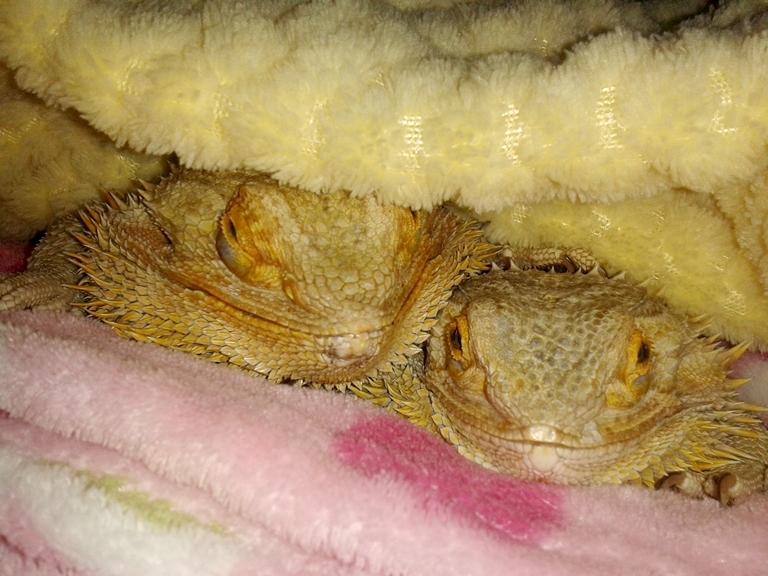 Bearded Dragon Care: Brumation
