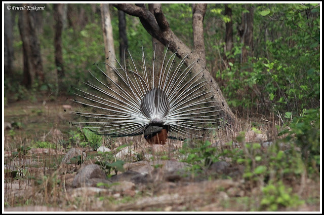 Indian peafowl at Tadoba