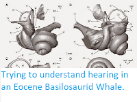 https://sciencythoughts.blogspot.com/2015/02/trying-to-understand-hearing-in-eocene.html