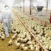 Memupuk Semangat Beternak Dikalangan Para Peternak Ayam