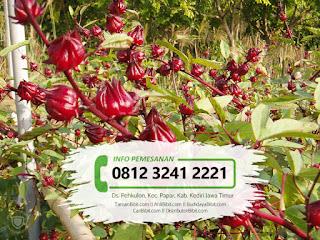 Jual Benih / Biji Bunga Rosella Merah