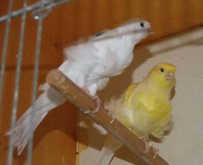 Los Canarios De Postura Canarios Rizados 1