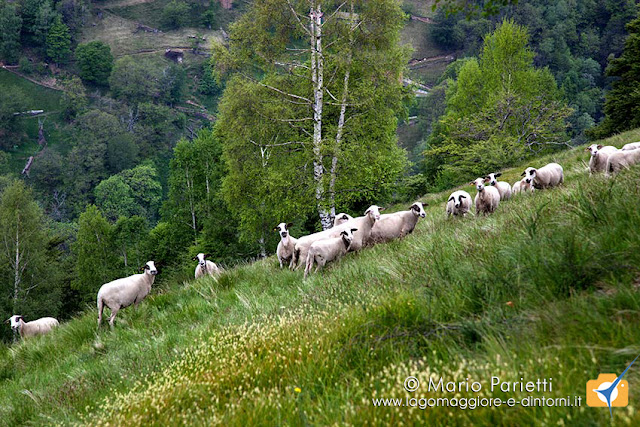 Pecore all'Alpe di Sciaga