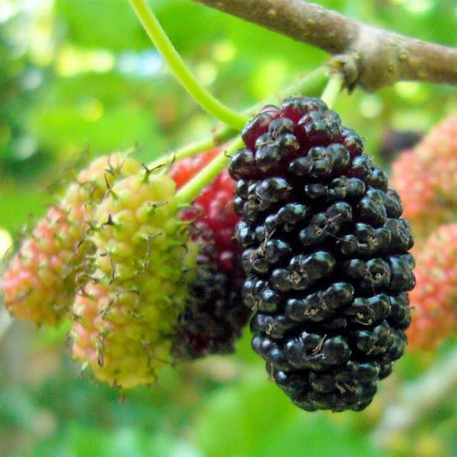 buah bery