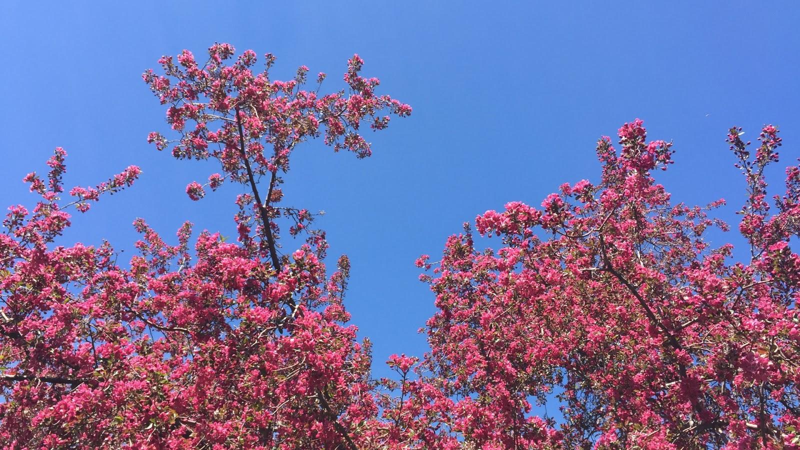 Crabapple blossoms // April Desktop Wallpaper Download // www.thejoyblog.net