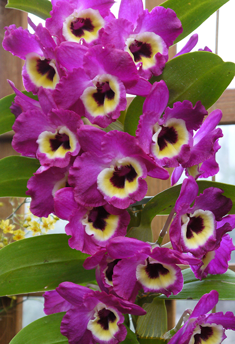 Dendrobium Orchid: The Orchid Column: Where Do I Cut My Dendrobium After It