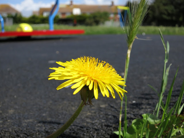 Dandelion next to an urban playground.