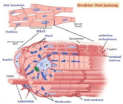 Struktur otot jantung - berbagaireviews.com