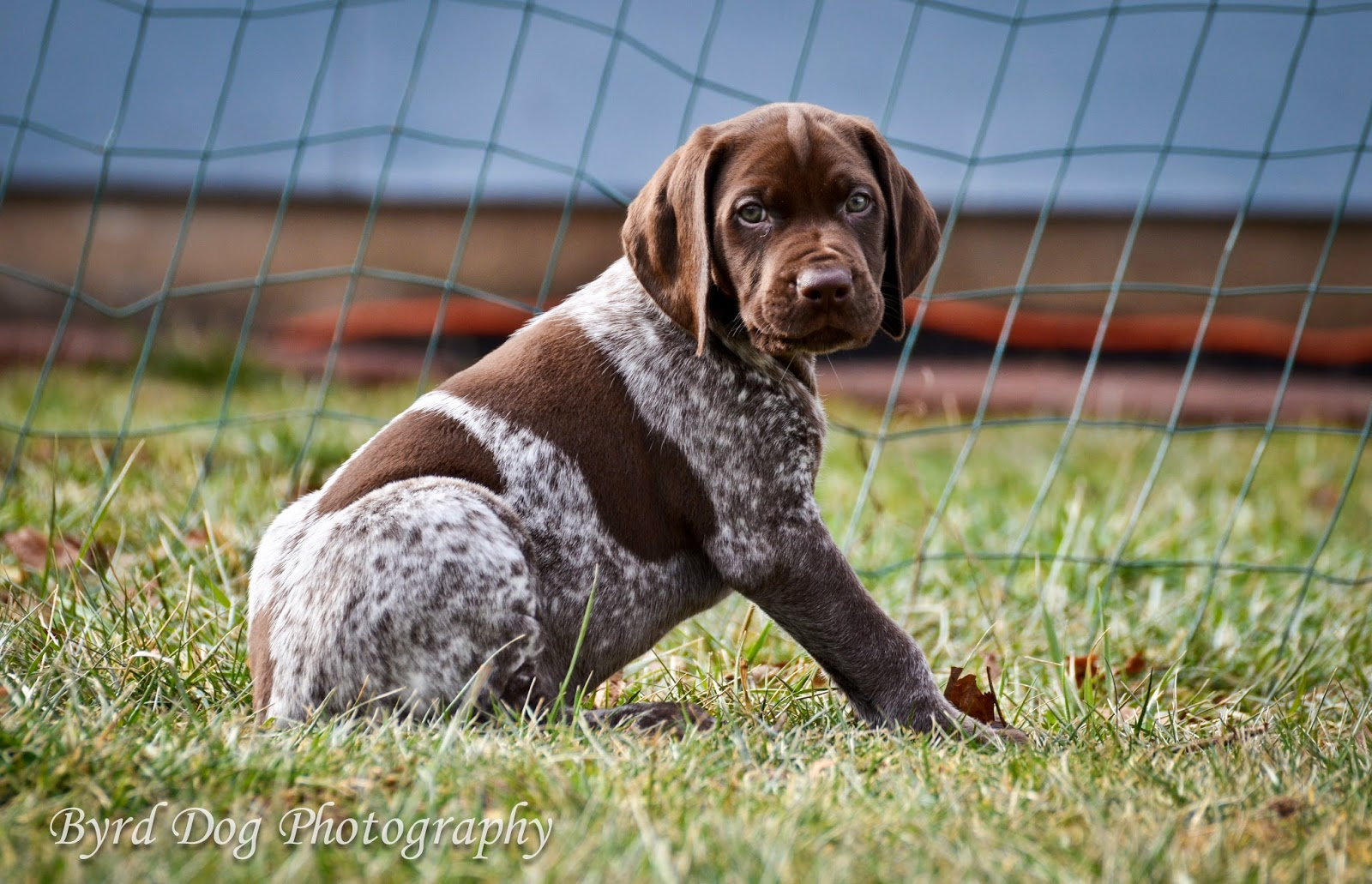 Black Roan German Shorthaired Pointer | www.imgkid.com ...