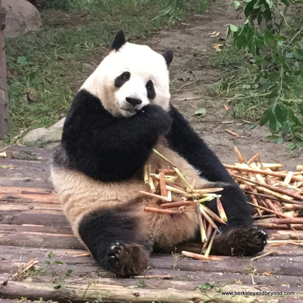 panda bear at research base in Chengdu, China