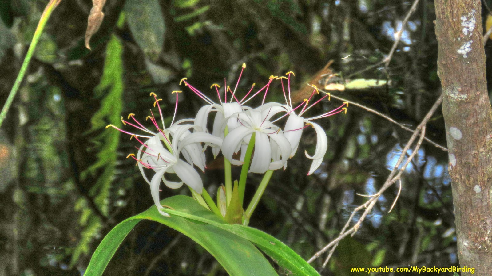 backyard birding and nature giant blooming spider lily at