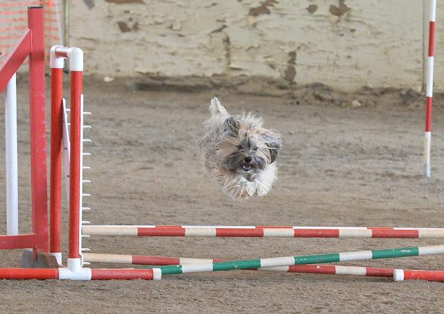 "Rocco Havanese AKC agility jump 8"""