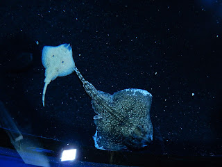 リヴォルノ水族館のヒラメ