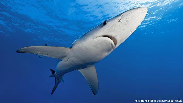Agen hiu berkedok?