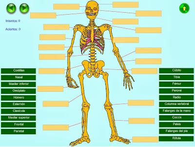 http://www.juntadeandalucia.es/averroes/recursos_informaticos/proyectos2004/ale/vocabulario/cm/esqueleto.swf