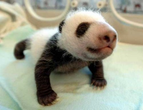 Amazing Giant Panda: Endangered Species, Giant Pandas ...
