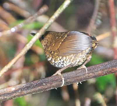 Pygmy Cupwing (Pnoepyga pusilla)