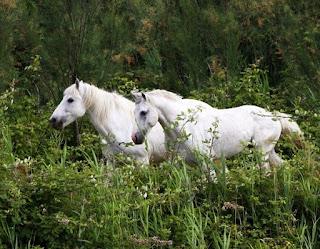 Cavalli del Delta