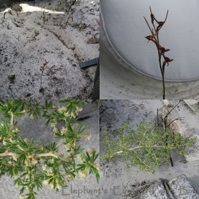 Disa salteri Asparagus lignosus