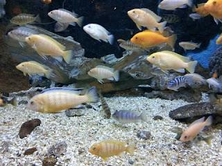 Makanan Ikan Hias Air Tawar