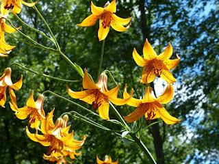 Lys du Canada - Lilium canadense