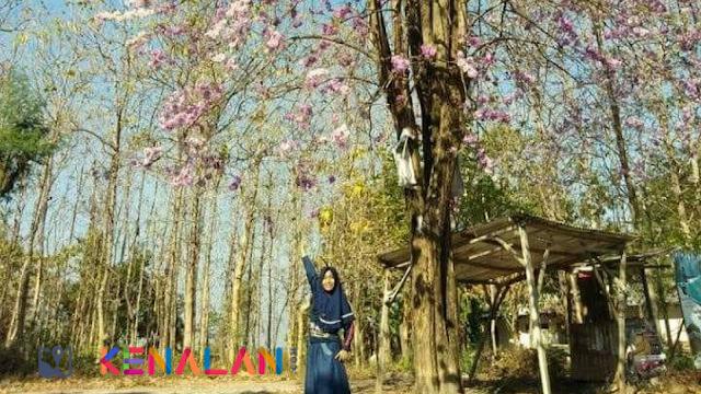 Tak Perlu Ke Jepang Melihat Mekarnya Bunga Sakura, Di Lamongan Juga Ada